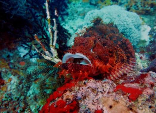 scorpionfish scuba diving Menjangan Island Bali Indonesia