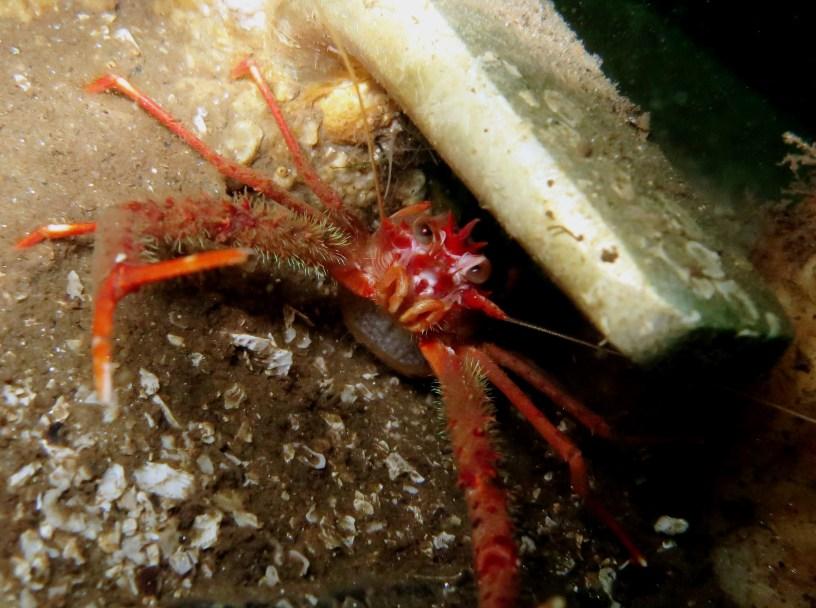 Squat lobster Scuba diving Loch Fyne Scotland