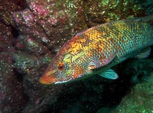 Ballan wrasse Scuba diving St. Abbs Scotland UK