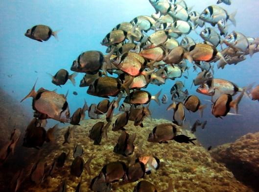 Sar / Two Banded Breams Scuba diving Portofino Italy