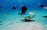 Scuba diving bull ray Tenerife Canary Islands