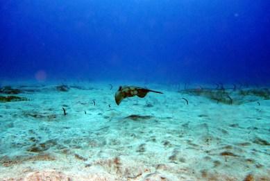 Scuba diving stingray Tenerife Canary Islands