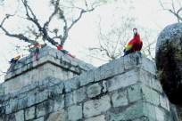 Parrots Copan Ruinas Mayan Archeological Site Honduras