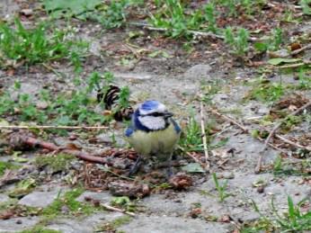 A Eurasian blue tit, spotted at Tiergarten.