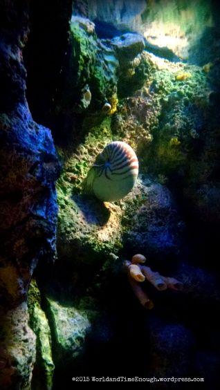 A nautilus in the Oceans exhibit at Shedd Aquarium.