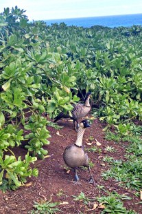 Nene geese at the Kilauea Lighthouse grounds