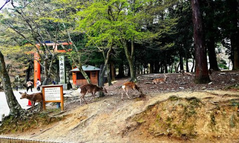 Deer all over the temple grounds