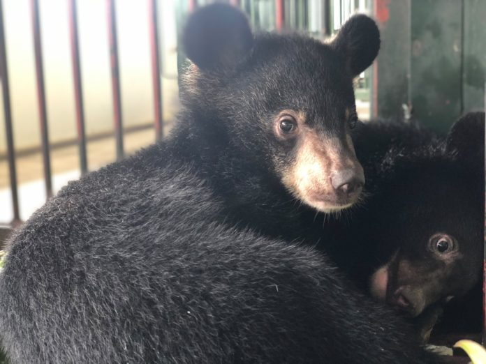 FOUR PAWS Rescues Two Asiatic Black Bear Cubs From The Illegal Wildlife Trade In Vietnam After Smuggler Tried To Sell Them Online