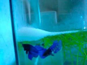 аквариумные петушки