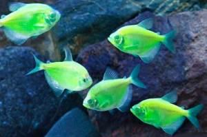 первая GloFish