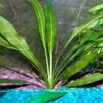 Эхинодорус амазонский