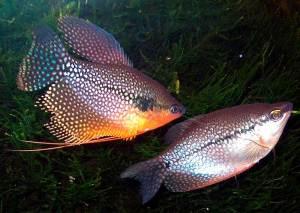 гурами жемчужный самец и самка