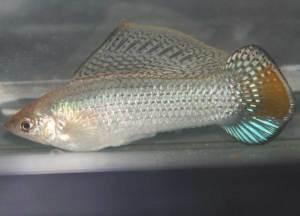 M. latipinna