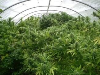 Оранжерия медицинска марихуана