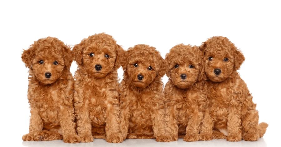 2. Giống chó Poodle
