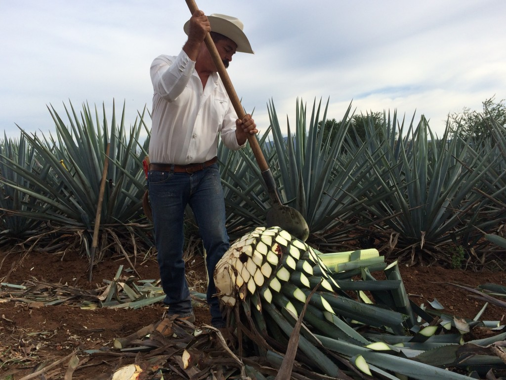 Famer cutting blue agave plant for Cuervo tequilla distillery.