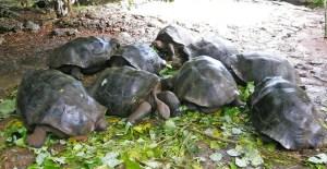 Galapagos turtles