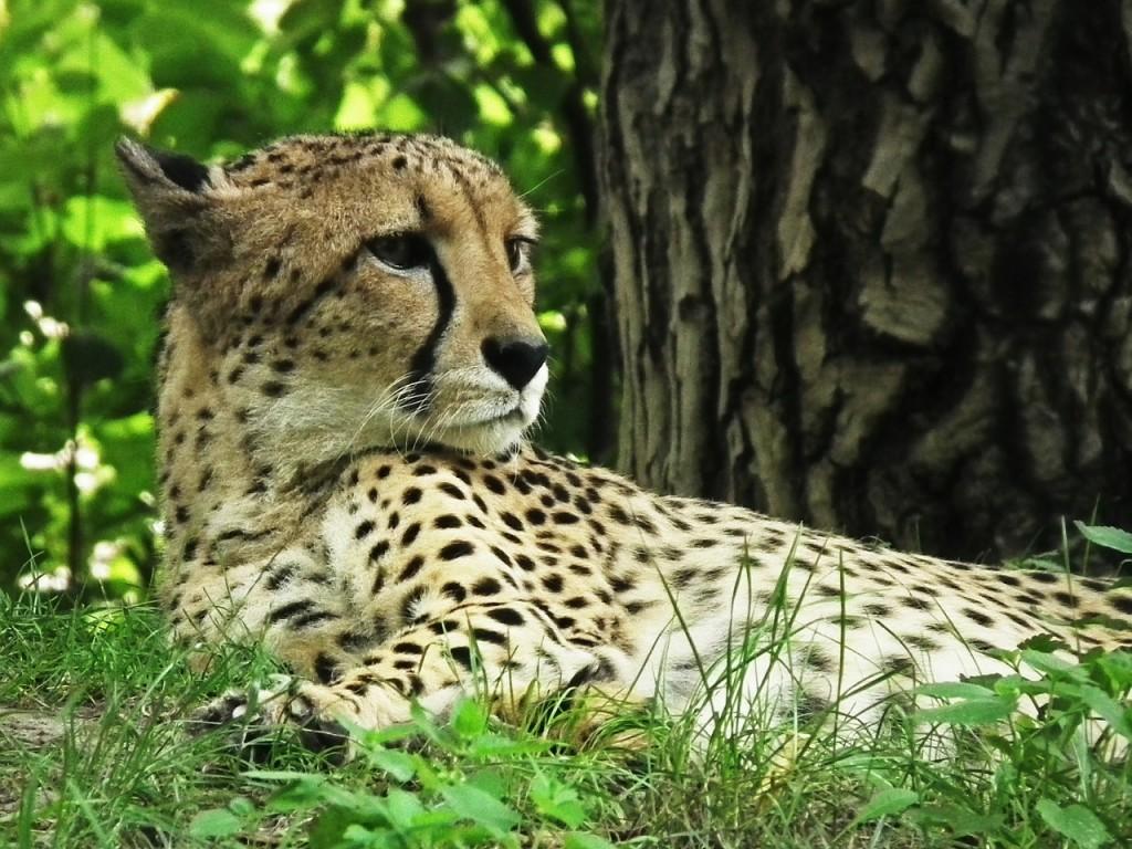 cheetah-.jpg