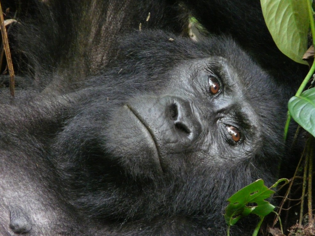Mountain Gorilla of Uganda