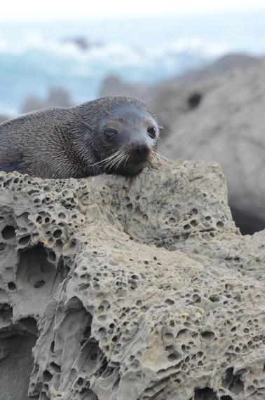 Photo of Seal at Ohau Point, Kaikoura, NZ. Photo by Ann-Marie Cahill