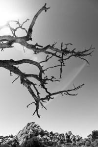 Joshua Tree. Photo: Josh Fredman