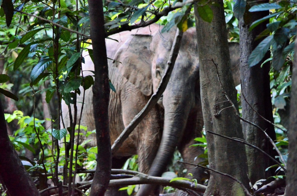 Photo of Pygmy Elephant by Brent Cahill.