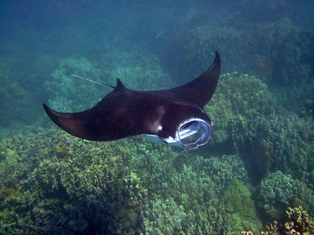 Underwater with a giant Manta Ray.