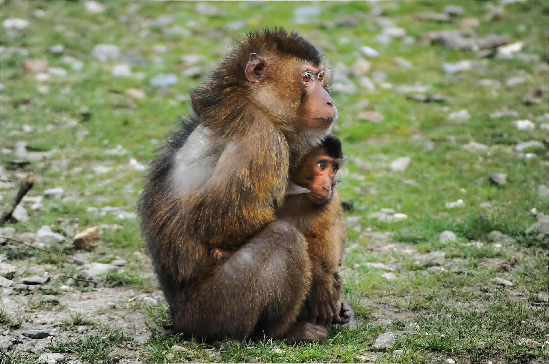 Barbary apes.