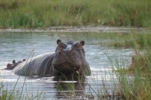 Hippo in the Okavango Delta.