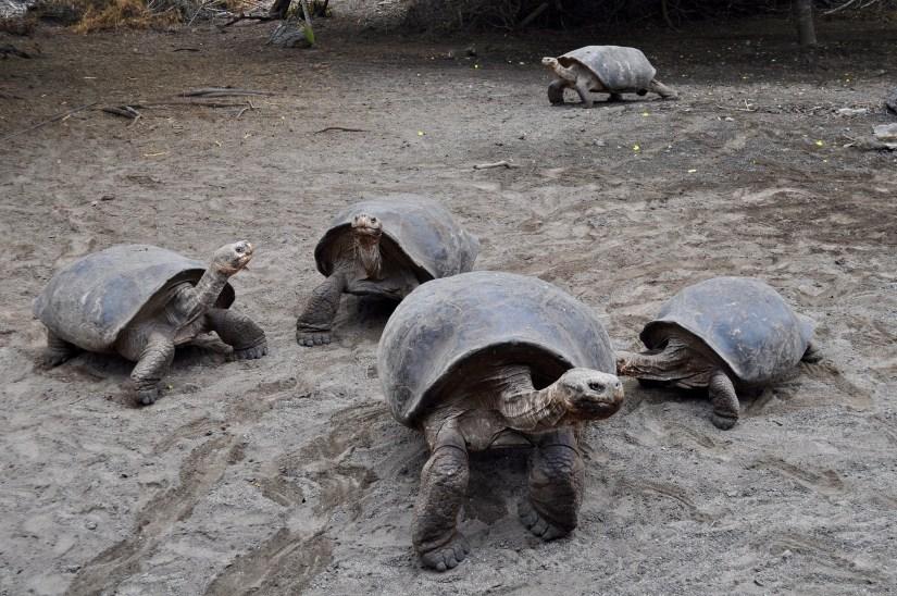Giant tortoises on the Galapagos Island.