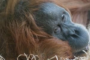 Orangutang in Sumatra