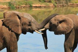 elephant-Sosuth Africa