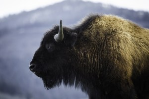Montana wild bison