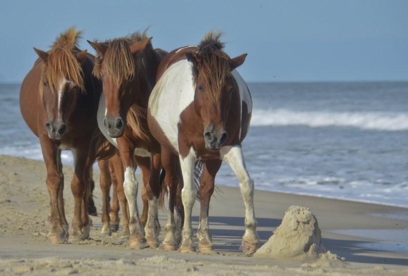 Wild ponies of Assateague Island, Virginia