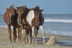 Wild ponies of Assateague Island, Virginia