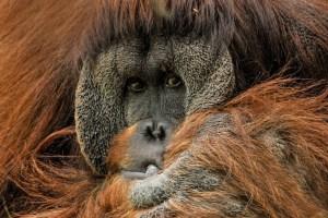orangutan-close up