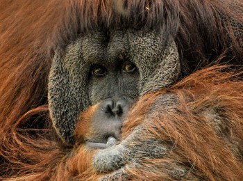 orangutan-close up