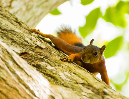 6.red squirrel
