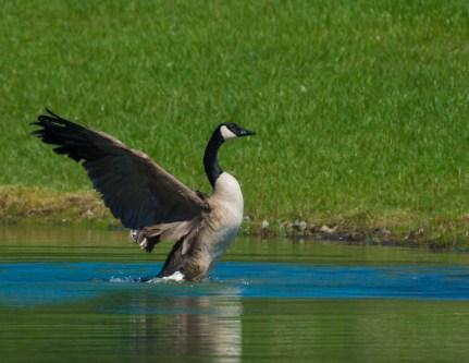 7. goose