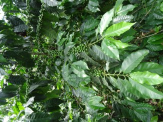 Coffee plant heavy with raw beans
