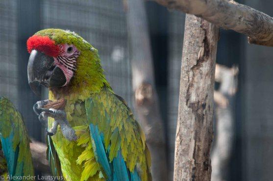Macaw, Ara Macao-3