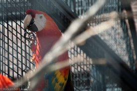 Macaw, Ara Macao