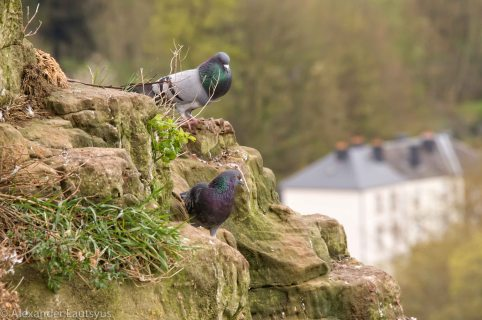 Pigeons of Luxembourg
