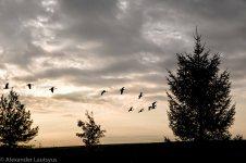 Geese Wedge