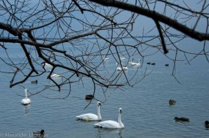 Burlington Wintering for Trumpeter Swans