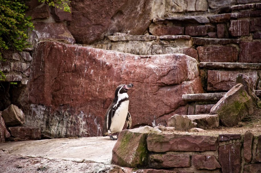 Karlsruhe Zoo, Penguin