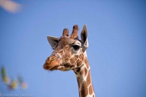 Karlsruhe Zoo, Giraffe