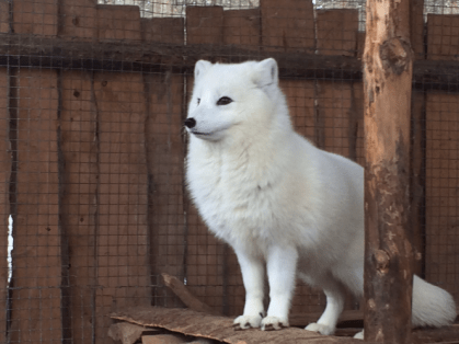 One of the Arctic foxes at Wild Spirit Park.