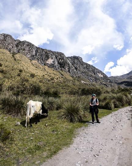 oxen on laguna 69 hike huascaran national park