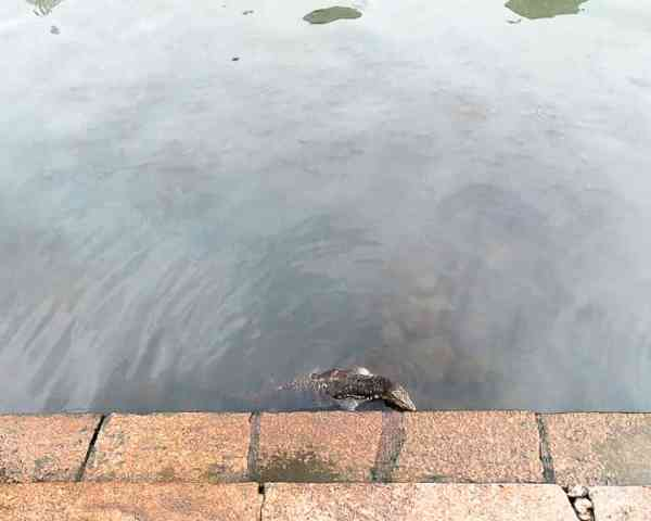Day Trip to Malacca: Monitor Lizards in the River